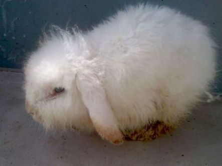 Conejo abandonado recogido por lamadriguera.org