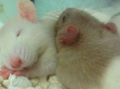 Rata durmeindo