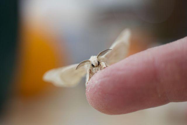 La polilla es la última fase de la vida de los gusanos de seda.