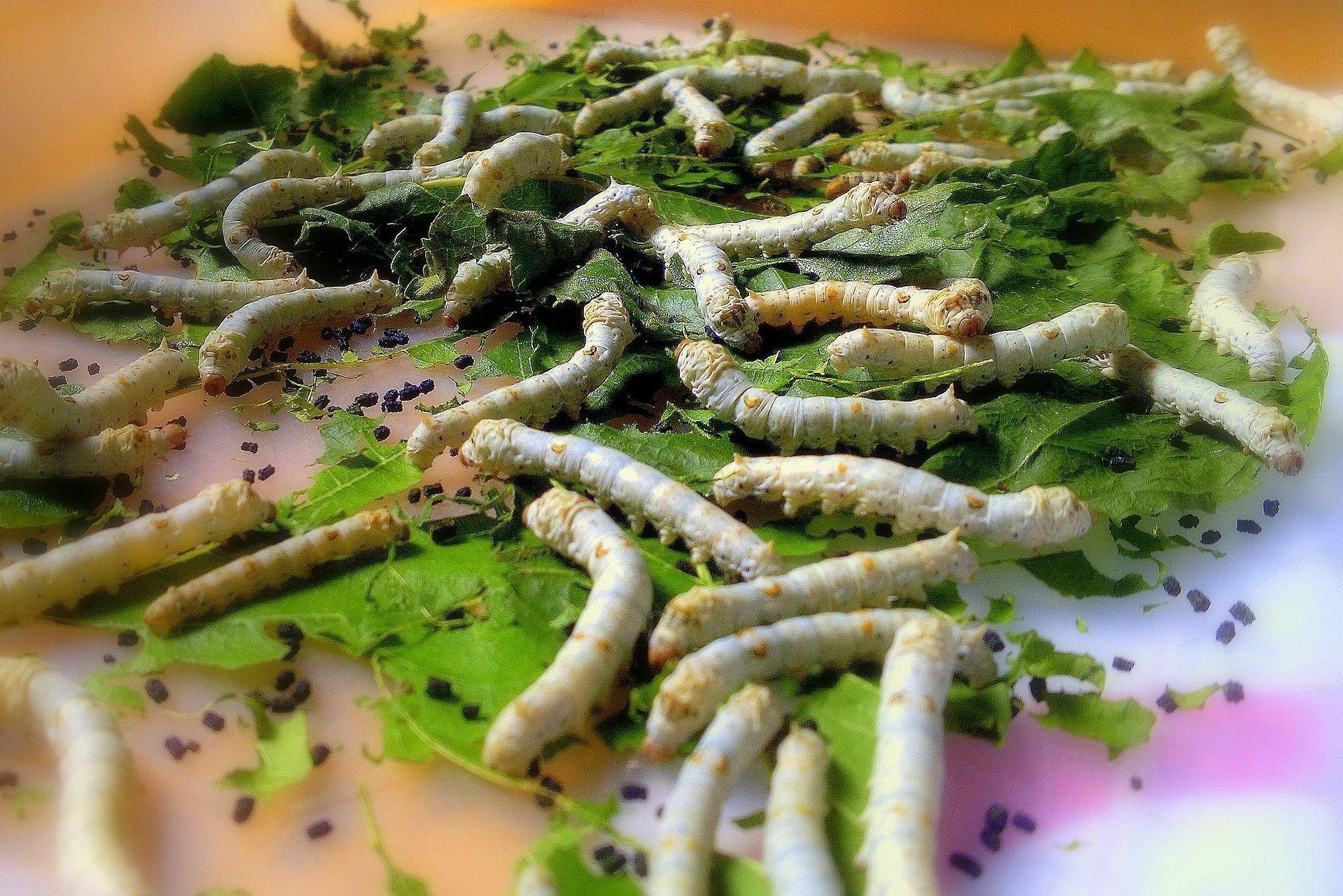 Echarles pocas hojas, facilita el control pero no hay que descuidar la cantidad de alimento, son muy glotones los gusanos.