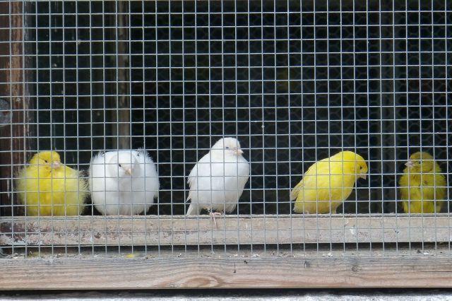 Canarios esperando su ración de brócoli.