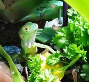 cuidados de la iguana alimentacion