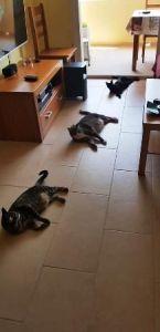 ventajas de castrar gatos