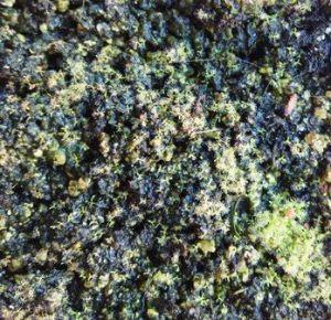 planta carnivora Drosera capensis alba