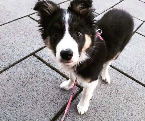 Border Collie cachorro