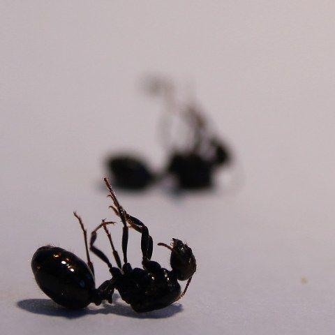 Mostrar hormigas reina muertas y evitarlo