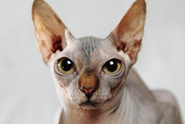 gato sphynx mascotas sin pelo