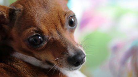 Si te pone esta carita, es imposible no adoptar un perro pequeño como este.