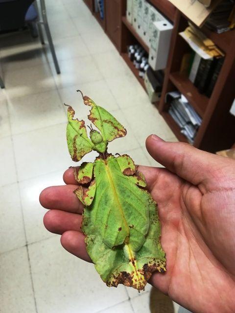 Explicar cómo son los insectos hoja