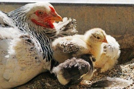 Explicar si tener una gallina como mascota es bueno o no