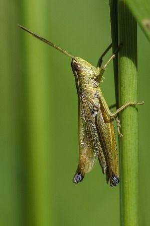 Los saltamontes cantan frotando sus patas traseras contra las alas.