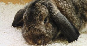 Conejo libre en casa
