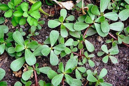Verdolaga como verduras para periquitos