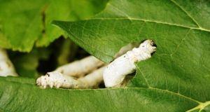 Comen los gusanos de seda hojas secas de morera