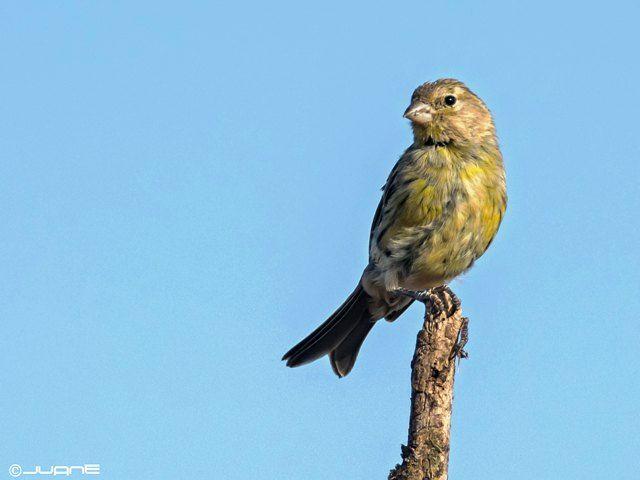 Canario silvestre. El canto del canario es una melodía que llama la atención desde tiempos inmemoriales.