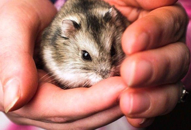 Mejor manera de dar hamster en adopcion