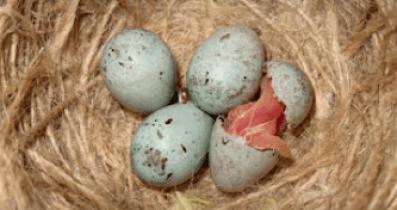 Eclosión de los huevos criar canarios