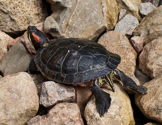 Elegir entre tortuga de agua o de tierra