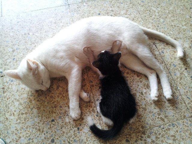 explicar si una gata en celo es un gato malo