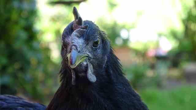 razas de gallinas ayam