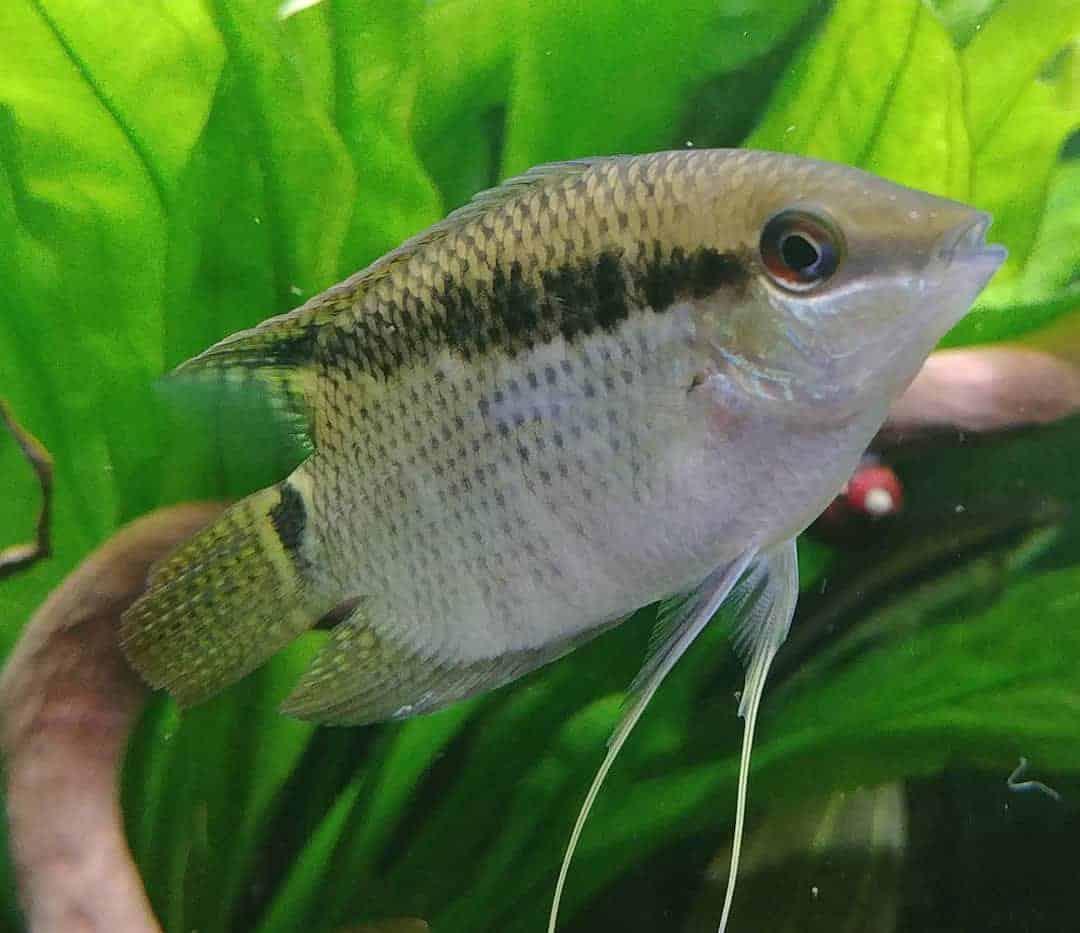 Ciclido bandera recomendable como peces de acuario