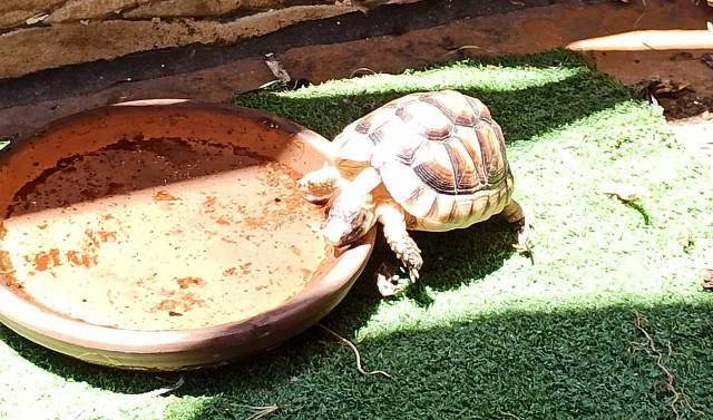 Hibernación de tortuga de tierra que hacer