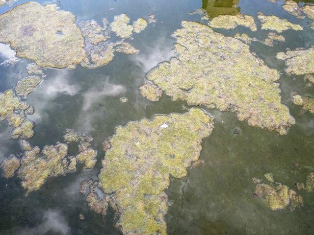 Cómo retirar algas verdes filamentosas de una fuente