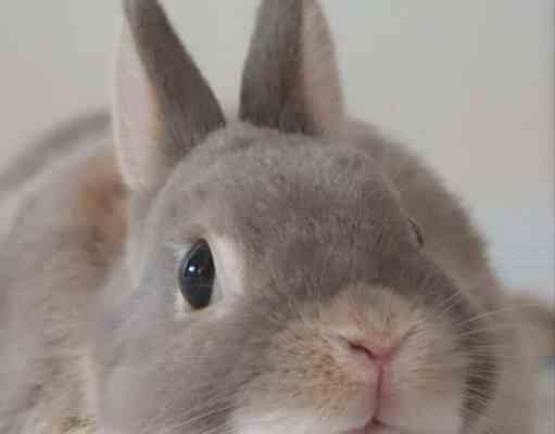 Dar un conejo en adopción