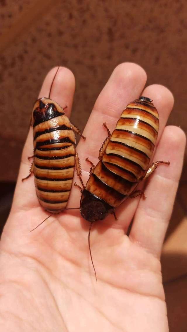 qué comen las cucarachas