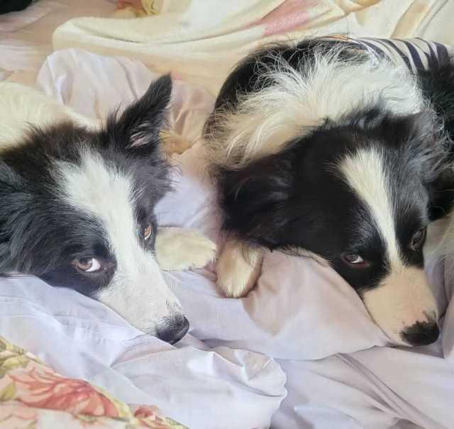 que pienso dar a un cachorro de border collie de tres meses