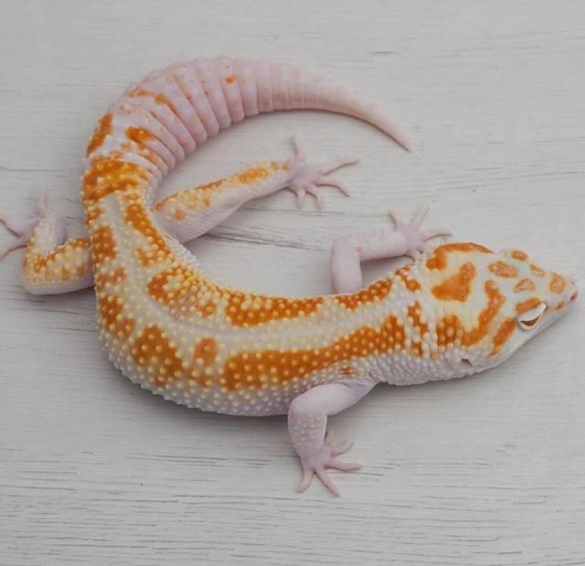 como cuidar de un gecko leopardo