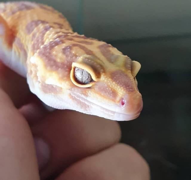 Así de grande son las cabezas de los geckos leopardo.