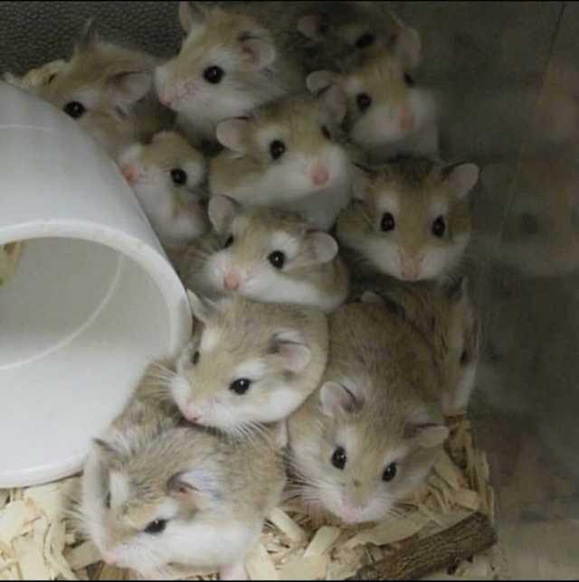 que hacer con camada de crias de hamster