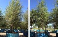 Live Oak Trees For Sale in Dallas | Fannin Tree Farm