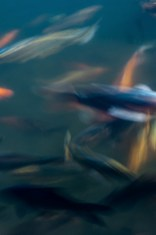 poissons_flous_temple-9