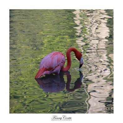 flamand-rose