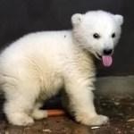 Berlin's dearest polar bear cub Fritz dies