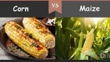 Differences Between Corn and Maize You Should Know