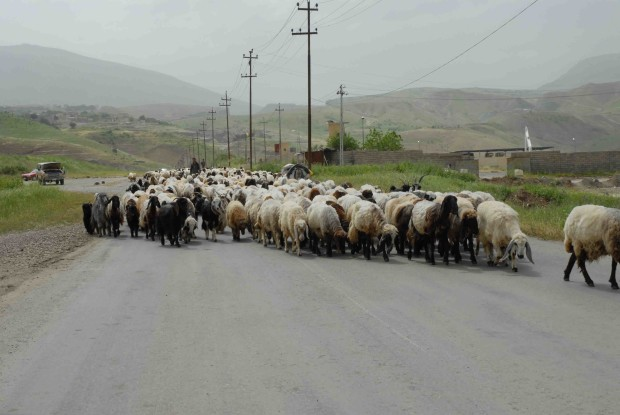 sheep%20in%20the%20road