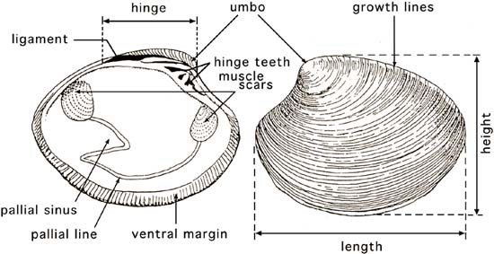 The hatchery culture of bivalves: a practical manual