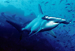 """Photo: """"Scalloped hammerhead cocos"""" by Barry Peters` - 637943300305. Licensed under CC BY 2.0 via Wikimedia Commons - http://commons.wikimedia.org/wiki/File:Scalloped_hammerhead_cocos.jpg#mediaviewer/File:Scalloped_hammerhead_cocos.jpg"""