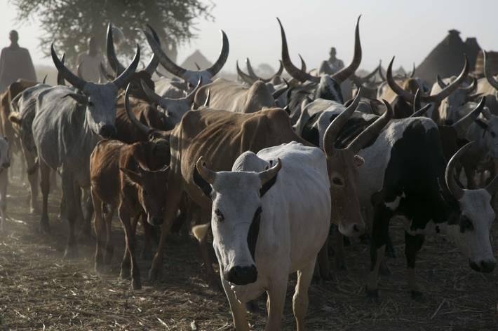 Resultado de imagen de cabezas de ganado sudan del sur