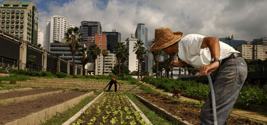 Urban garden cooperative workers laying down irrigation lines in a lettuce bed in Caracas ©FAO/Giuseppe Bizzarri