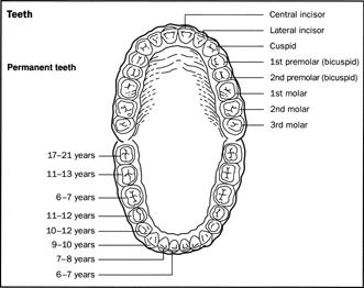 Bicuspid; Premolar