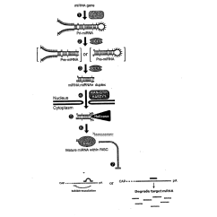 In Vivo Gene Therapy Diagram 5 Wire The Gallery For Gt