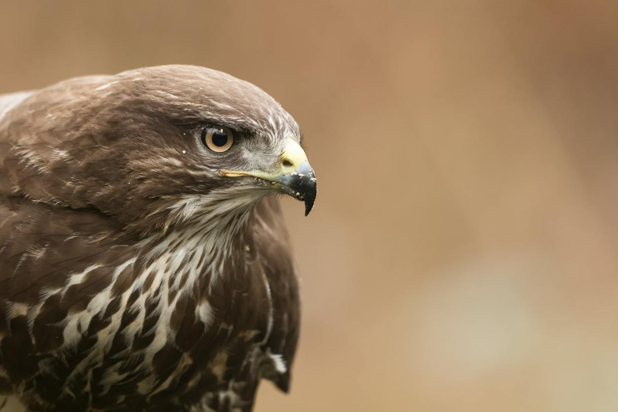 buzzard-staring-into-distance-at-the-international-centre-for-birds-of-prey