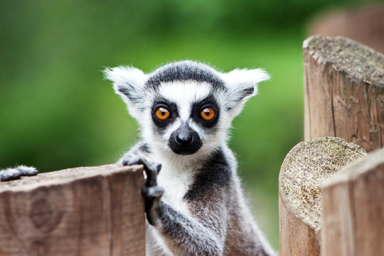 ring-tailed-lemur-staring-at-camera-at-beale-wildlife-park