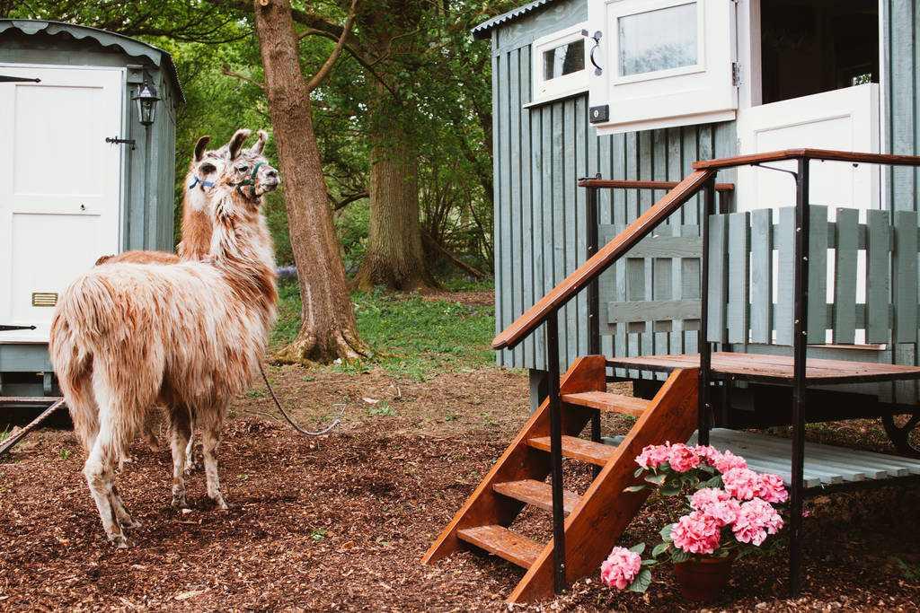 sergeant-troy-shepherds-hut-with-alpacas-walking-outside-glamping-kent