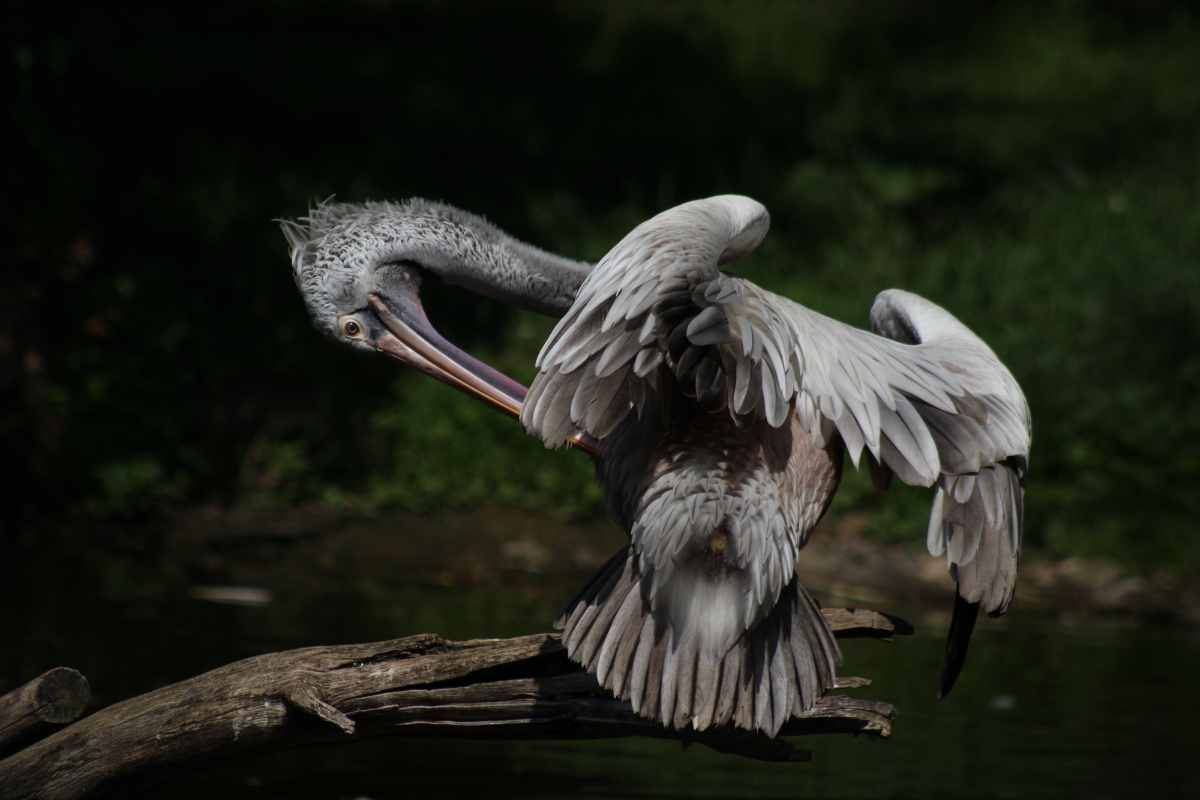 pelican-stood-on-wood-at-prague-zoo