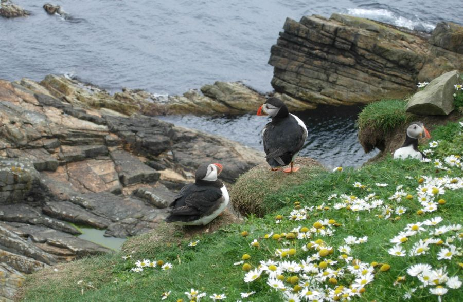 Group of three of Shetland puffins